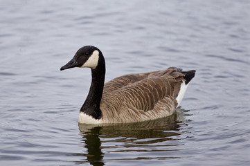 Beautiful photo of the swimming goose