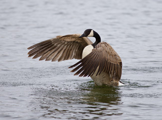 Beautiful isolated photo of a Canada goose in the lake with the spreaded wings