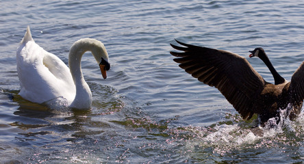 Isolated photo of the amazing fight between the Canada goose and the swan