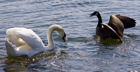 Beautiful background with the amazing fight between the Canada goose and the swan