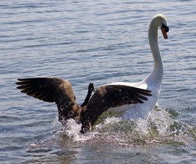 Amazing background with the Canada goose attacking the swan on the lake