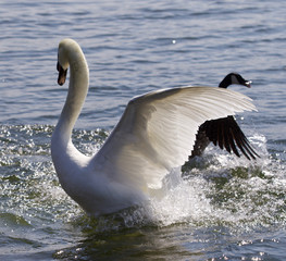 Beautiful isolated photo of the swan going away from the attack of the Canada goose