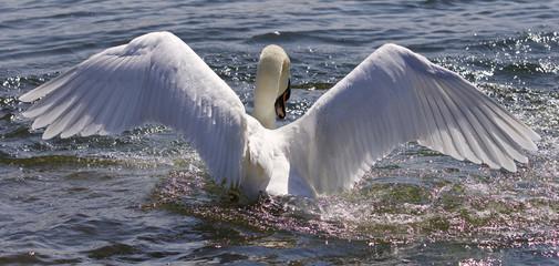Amazing wings of the beautiful swan