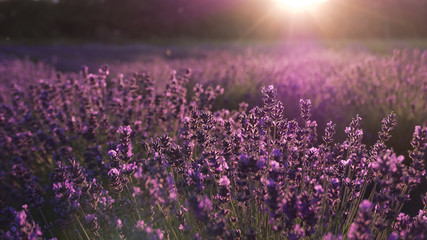 Lavender and sunset