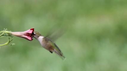 Fotoväggar - Juvenile Ruby-throated Hummingbird (archilochus colubris) in flight with a flower
