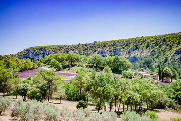 Paysage et champs de lavandes en Provence