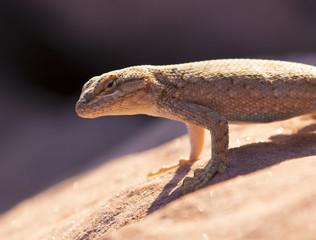 Desert Life - lizard in Arches National Park, Utah