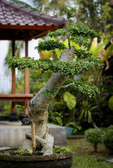 Balinese Bonsai. Bonsai, the art of growing small trees and plants is practiced in the Bali highlands of Munduk.