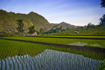Sidemen, Bali Rice Field. New rice is planted in flooded terraces in the village of Sidemen where you can see some of the most beautiful and dramatic rice fields in all of Bali.