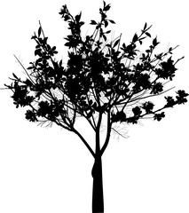 small black blossoming tree with large flowers isolated on white