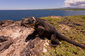 Landleguan auf der Isla Plaza Sur, Galapagosinseln, Ecuador