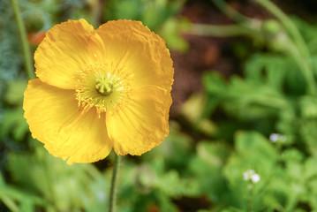 beautiful yellow opium poppy flower blooming  background