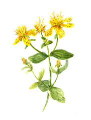 Hypericum flower. John's wort plant. Watercolour