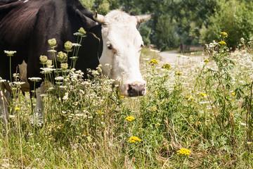 Portrait of a cow grazing in a meadow