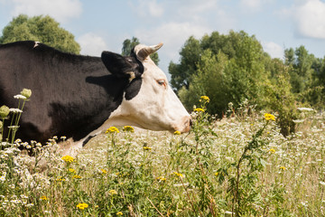 Portrait of a cow grazing in a meadow