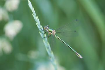 зеленая стрекоза