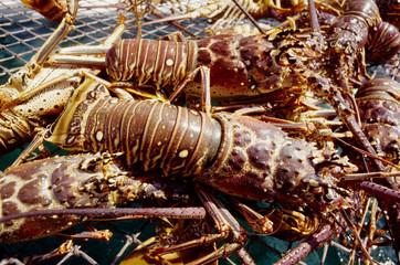 aragoste pesce crostaceo di mare