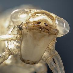 Exuvie einer Larve der Libelle Große Königslibelle (Anax imperator)