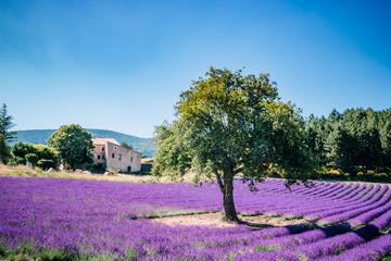 Le vieil arbre dans le champ de lavandes en Provence