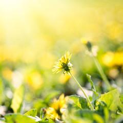 Dandelion field in sunrise,, summer time