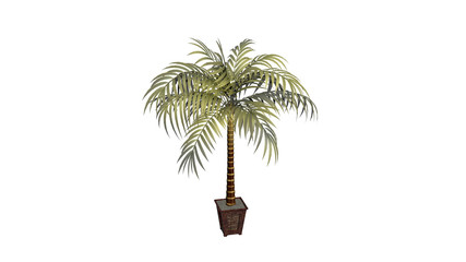 Palm tree, decorative plant in a flower pot isolated on white background
