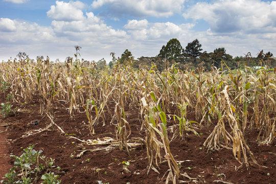 Failing crops in Kenya