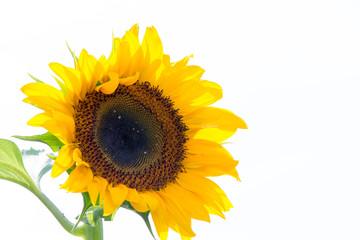 ひまわりの花、太陽を追いかけて咲く