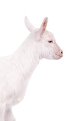 The goatling isolated on white