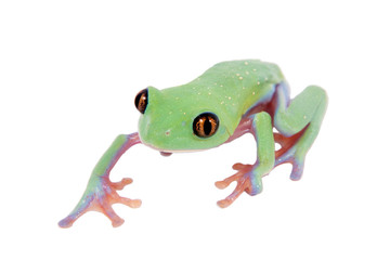 Beautiful blue-sided tree frog on white background
