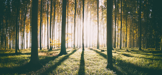 sunrise in a beech forest