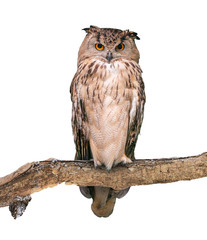 Eurasian eagle-owl on white