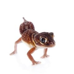 Smooth Knob-tailed Gecko on white