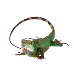 The Australian water dragon on white background