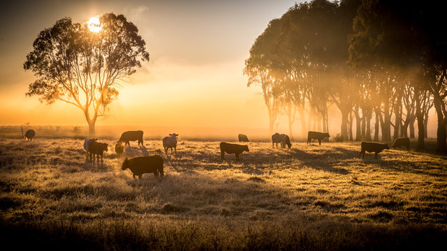 cattle in the morning