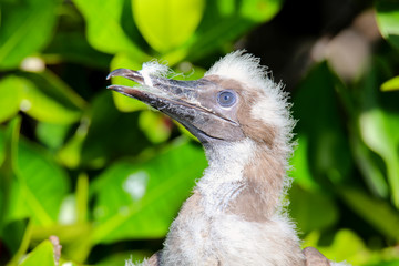 Red-footed booby chick, on Genovesa island, Galapagos National P