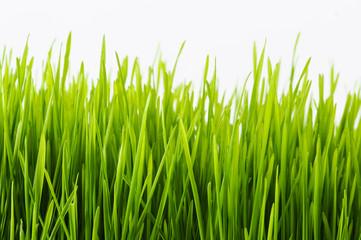 Healthy Wheatgrass