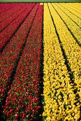 Canvas Prints Tulip tulpen in Keukenhof