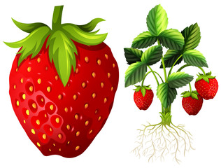 Strawberry and strawberry plant