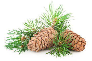 Cedar cones with branch