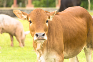 Cow in farm system animal welfare and background of nature view of farm