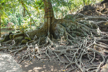 Tropical tree roots in the forest, Bali, Indonesia