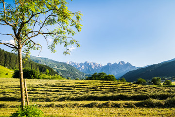 Panoramic view to Dachstein glacier in Austria over green hayfileds drying in the sun