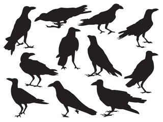 Set of crow realistic icon silhouette isolated on white background in different action, raven standing shadow
