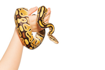 Picture of Royal or Ball python on kid's hand
