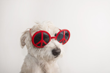 Pretty dog in red sunglasses over white background. Jack Russell Terrier. Peace.