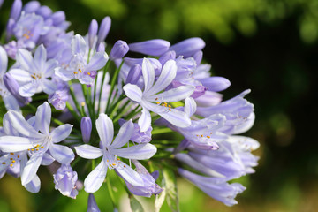 Blue African Lily (Agapanthus africanus) in Japan