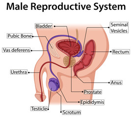 Diagram showing male reproductive system