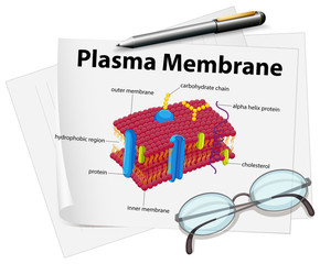 Paper showing plasma membrane drawing