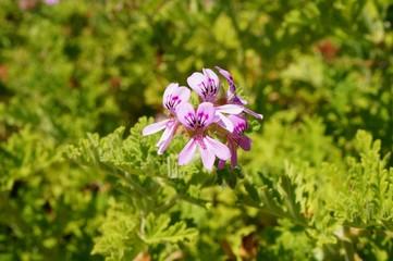 Pink flowers of citronella geranium (pelargonium odorantissimum)