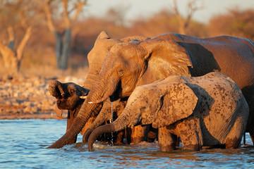 African elephants (Loxodonta africana) drinking water, Etosha National Park, Namibia.